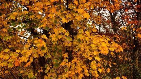 Leaves on Long Island.