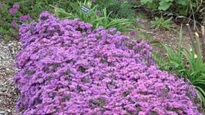 Asters, like this 'Wood's Purple' cultivar, are generally