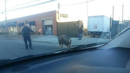 A large pig was hoofing the streets of