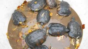 These turtles were among the animals -- dead