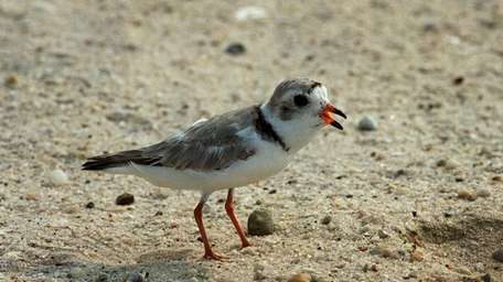 A Piping Plover is shown in Westhampton in
