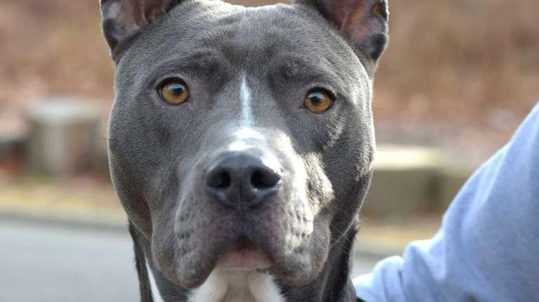 Nikko, a five year old Pit Bull mix,