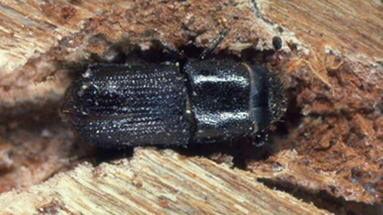 A Southern Pine beetle is shown in this