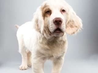 Falcor, 14½-week-old Clumber spaniel: Falcor has a crush
