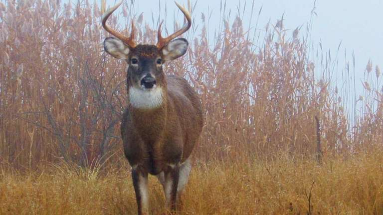 A white-tailed buck stands against the warm and