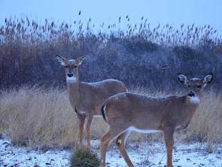 Snow dusts the coats of two white-tailed deer