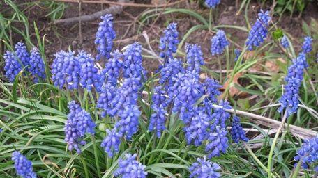 Muscari grape hyacinths growing in reader Fred Reisfeld's