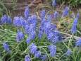 Muscari grape hyacinths growing in reader Fred Reisfeld's